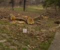 Dane County Parks Celebrates Earth Week by Cutting Down Many Large Trees